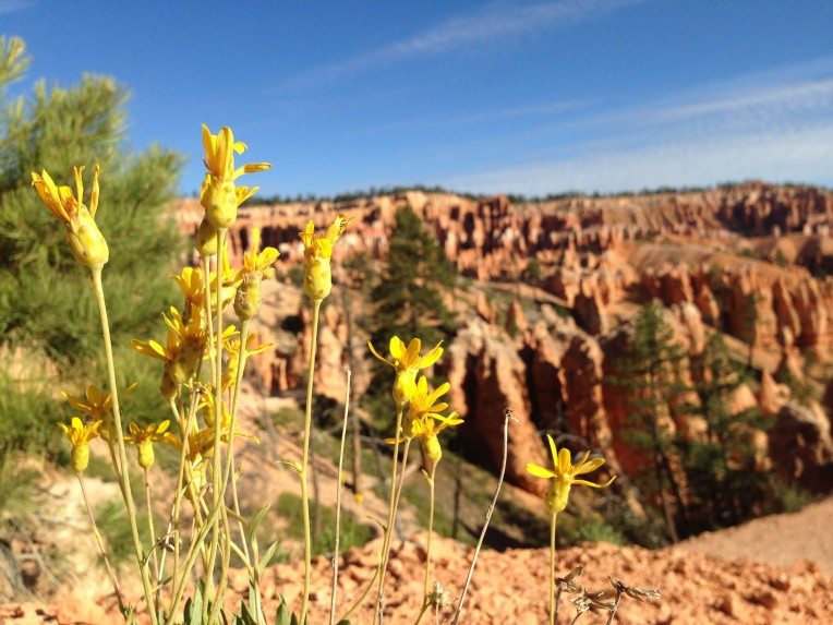 Bryce Canyon National Park showy stoneseed wildflower.
