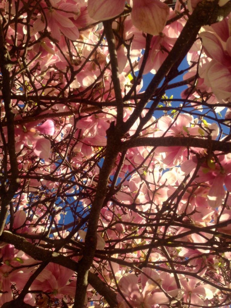 Blooming Magnolia tree.