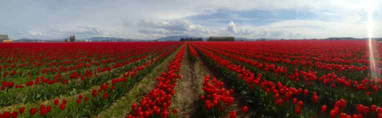 Squat Valley's Tulip Festival has fields of blooming tulips.