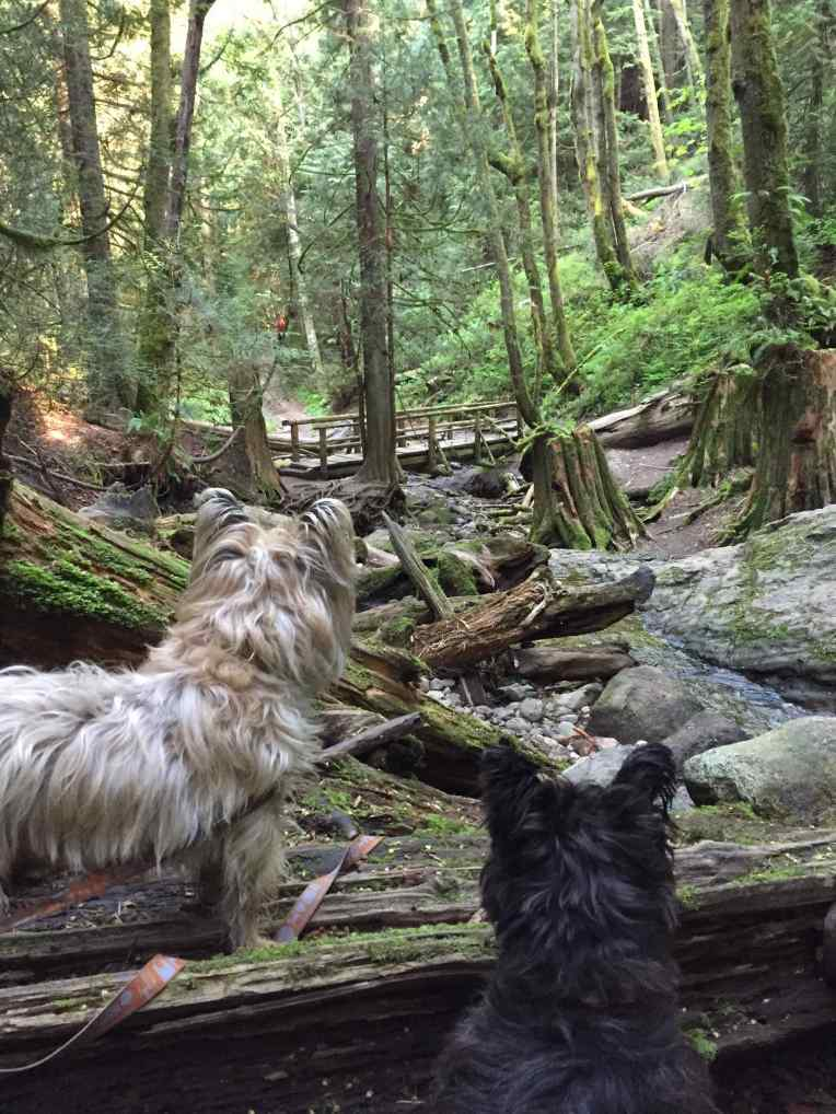Valor and Tucker on full alert at Coal Creek Falls on Cougar Mountain.