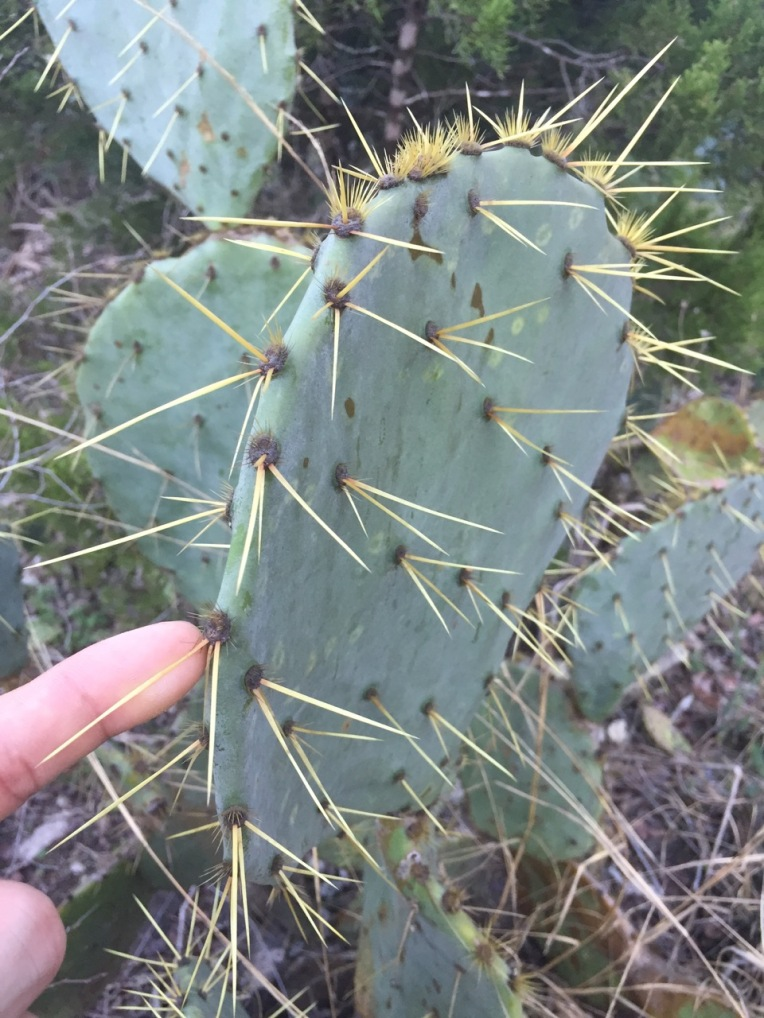 Yes, that cactus needle is 2/3 the length of my pointer finger.